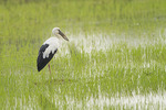 Asian Openbill in paddy field near Laem Pak Bia, Thailand.