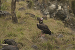 Red-headed Vulture perched near a carcass.