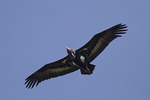 Red-headed Vulture in flight in late November on fall migration.
