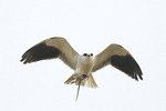 Black-shouldered Kite in flight carries a small rodent it has caught in a rural area near Lumbini, Nepal.