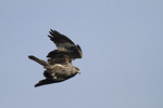 Immature Black Kite tucks its wings in a rapid descent in mid-December.