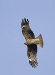 Immature Black Kite in flight in mid-December.