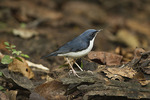 Male Siberian Blue Robin in November.