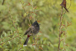 Red-vented Bulbul in mid-November.