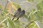Red-vented Bulbuls in Bamboo on a misty morning in mid-November.