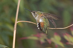 A first winter female Rufous Hummingbird, stretching her wings in early January, shows the extent of rufous in her tail feathers.