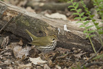 Adult Ovenbird in late April on spring migration. 