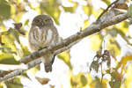Asian Barred Owlet in late November.
