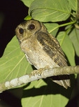 Collared Scops Owl in mid-November. 
