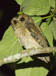 Collared Scops Owl in mid-November.
