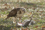 Immature Red-tailed Hawk with an Eastern Gray Squirrel (Sciurus carolinensis) it has captured.