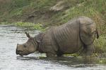 Male Indian Rhinoceros (Rhinoceros unicornis) crosses a river bordering Chitwan National Park. Sauraha, Nepal.