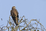 Black Kite in late November.