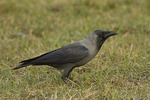 House Crow in late November.