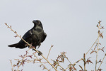 Large-billed Crow in November.