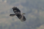 Large-billed Crow in flight in November.
