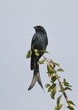 Adult Black Drongo in late November.