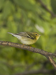 First fall Blackpoll Warbler in late September on fall migration.