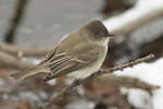 Eastern Phoebe perched low above water in late January.