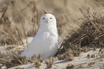 Adult male Snowy Owl in late January.
