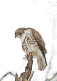 Immature Red-tailed Hawk in late January perched near feeders.