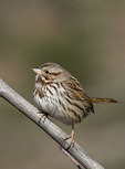 Song Sparrow in early February.