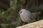 Gray Catbird in early February.