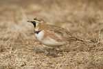 Horned Lark in early February.