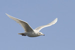 First winter Glaucous Gull in flight in early February.