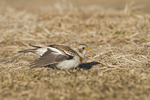 First winter female Snow Bunting stretching a wing in early February.