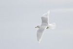 Adult Iceland Gull in flight in mid-February.