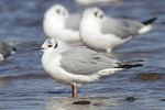 Adult Bonaparte's Gull (Chroicocephalus philadelphia) in winter plumage in mid-February.