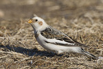 Snow Bunting in early February.