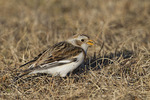 First winter female Snow Bunting in early February.