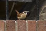 Carolina Wren near its nest in a building.