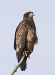 Juvenile Bald Eagle in late February.