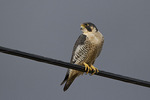 Adult Peregrine Falcon in late February.
