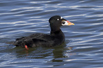 Adult male Surf Scoter in late February.