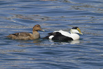 Common Eider pair, female at left, in mid-March.