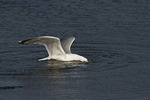 Herring Gull plunges into shallow water while hunting for clams at low tide in mid-March.