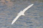 Immature (first cycle) Iceland Gull in flight in mid-March.