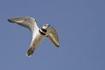 Killdeer in flight in mid-March.