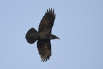 Common Raven in flight in mid-March.