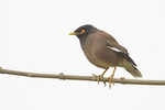 Common Myna (Acridotheres tristis) in mid-December.
