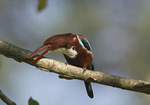 White-throated Kingfisher (Halcyon smyrnensis) in late November.