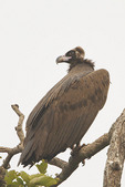 Cinereous Vulture (Aegypius monachus) in early December. Gaindahwa Lake Vulture Restaurant, Nepal.