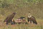 Cinereous Vulture (Aegypius monachus) and Slender-billed Vulture (Gyps tenurostris) feeding at a cow carcase with Large-billed Crows (Corvus macrorhynchos) in early December. Gaindahwa Lake Vulture Restaurant, Nepal.