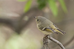 Male Ruby-crowned Kinglet in mid-April on spring migration.