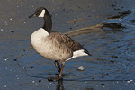 Canada Goose standing on ice in mid-February.