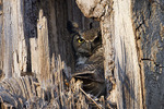Female Great Horned Owl at the nest.